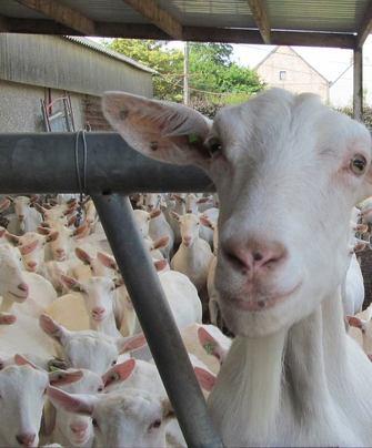 Geitenboerderij De Klaverlochting In Beeld